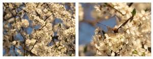 pszczoła1