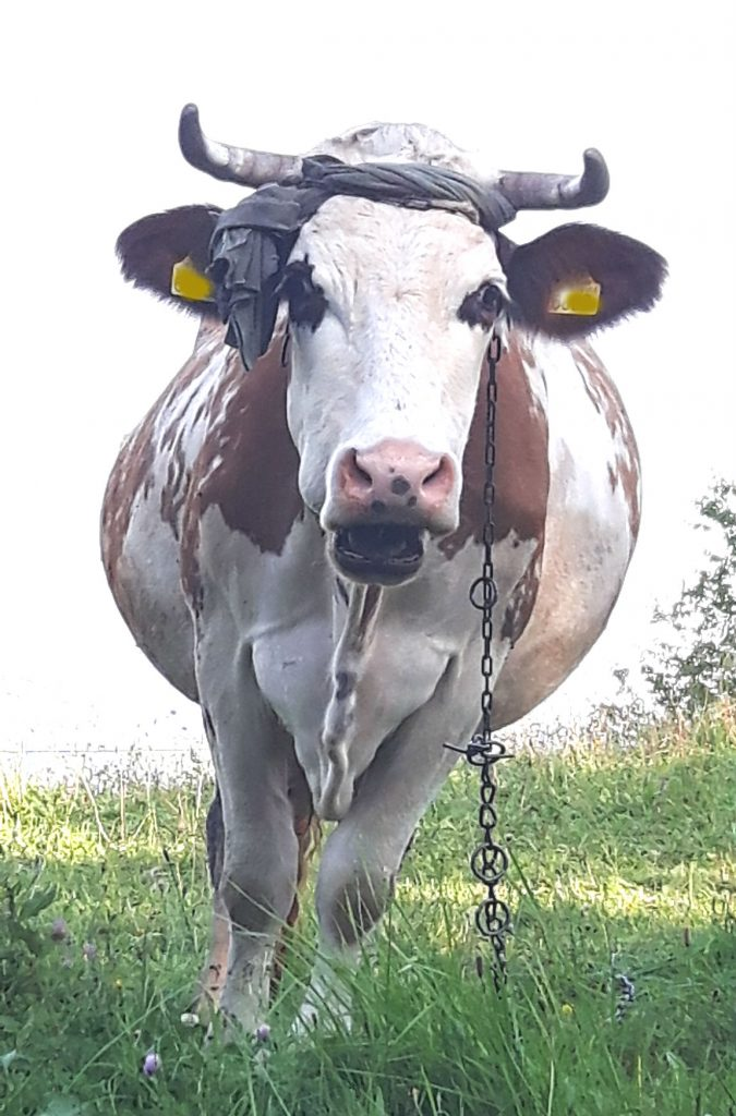 krowa3